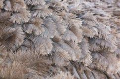 Φτερό στρουθοκαμήλων Στοκ Εικόνα