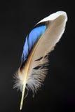 Φτερό του αρσενικού πρασινολαίμη Στοκ Φωτογραφία