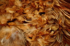 Φτερό του κοτόπουλου Στοκ φωτογραφίες με δικαίωμα ελεύθερης χρήσης