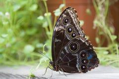 φτερό 2 πτυχών πεταλούδων Στοκ φωτογραφία με δικαίωμα ελεύθερης χρήσης