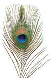 φτερό peacock Στοκ Εικόνα