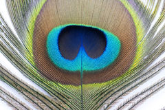 Φτερό Peacock Στοκ φωτογραφίες με δικαίωμα ελεύθερης χρήσης