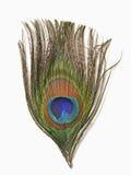 Φτερό Peacock Στοκ Φωτογραφία
