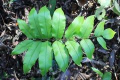 Φτερών τροπικό υπόβαθρο φυλλώματος φύλλων πράσινο Η ζούγκλα τροπικών δασών φυτεύει τη φυσική χλωρίδα Στοκ Φωτογραφία