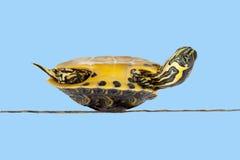 φτωχή άρρωστη χελώνα Στοκ εικόνα με δικαίωμα ελεύθερης χρήσης