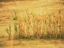 Φτωχός ξηρός ραγισμένος άργιλος συγκομιδών σίτου στη γωνία του τομέα σίτου Σκονισμένο έδαφος με τις ρωγμές στοκ εικόνα με δικαίωμα ελεύθερης χρήσης