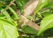 Φτωχό grasshopper Στοκ Εικόνα