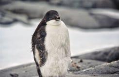 φτωχό penguin Στοκ εικόνες με δικαίωμα ελεύθερης χρήσης