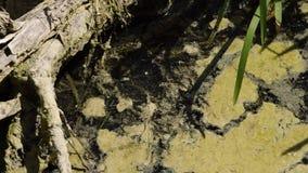 Φυκώδης άνθιση στο νερό Ρευστή ροή Λάσπη driftwood Κανένα πρόσωπο φιλμ μικρού μήκους