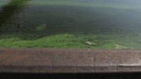 Φυκώδης άνθιση στο νερό φιλμ μικρού μήκους