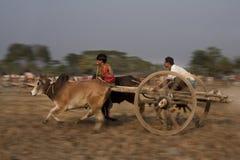 Φυλή κάρρων του Bullock στοκ εικόνες με δικαίωμα ελεύθερης χρήσης