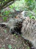 Φυλή Μαίην Coon γατών στη φύση Φωτογραφίες μιας γάτας στα λουλούδια των σταφίδων και στη χλόη Πολύ μεγάλη γάτα στοκ φωτογραφίες
