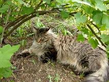 Φυλή Μαίην Coon γατών στη φύση Φωτογραφίες μιας γάτας στα λουλούδια των σταφίδων και στη χλόη Πολύ μεγάλη γάτα στοκ εικόνα