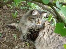Φυλή Μαίην Coon γατών στη φύση Φωτογραφίες μιας γάτας στα λουλούδια των σταφίδων και στη χλόη Πολύ μεγάλη γάτα στοκ εικόνα με δικαίωμα ελεύθερης χρήσης