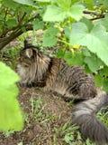 Φυλή Μαίην Coon γατών στη φύση Φωτογραφίες μιας γάτας στα λουλούδια των σταφίδων και στη χλόη Πολύ μεγάλη γάτα στοκ εικόνες