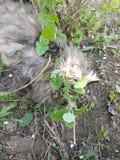 Φυλή Μαίην Coon γατών στη φύση Φωτογραφίες μιας γάτας στα λουλούδια των σταφίδων και στη χλόη Πολύ μεγάλη γάτα στοκ φωτογραφία