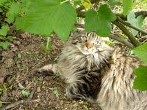 Φυλή Μαίην Coon γατών στη φύση Φωτογραφίες μιας γάτας στα λουλούδια των σταφίδων και στη χλόη Πολύ μεγάλη γάτα στοκ φωτογραφίες με δικαίωμα ελεύθερης χρήσης
