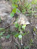 Φυλή Μαίην Coon γατών στη φύση Φωτογραφίες μιας γάτας στα λουλούδια των σταφίδων και στη χλόη Πολύ μεγάλη γάτα στοκ φωτογραφία με δικαίωμα ελεύθερης χρήσης