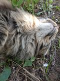 Φυλή Μαίην Coon γατών στη φύση Φωτογραφίες μιας γάτας στα λουλούδια των σταφίδων και στη χλόη Πολύ μεγάλη γάτα στοκ εικόνες με δικαίωμα ελεύθερης χρήσης