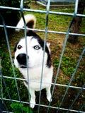 Φυλή σκυλιών γεροδεμένη σε ένα κλουβί μετάλλων Στοκ φωτογραφία με δικαίωμα ελεύθερης χρήσης