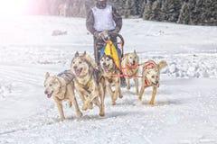 Φυλή σκυλιών ελκήθρων στο χιόνι το χειμώνα Στοκ φωτογραφία με δικαίωμα ελεύθερης χρήσης