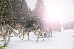 Φυλή σκυλιών ελκήθρων στο χιόνι το χειμώνα Στοκ Εικόνες
