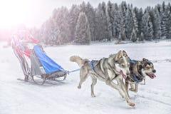 Φυλή σκυλιών ελκήθρων στο χιόνι το χειμώνα Στοκ Φωτογραφία