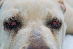Φυλή σκυλιών corso καλάμων με την κινηματογράφηση σε πρώτο πλάνο ματιών κερασιών στοκ φωτογραφίες