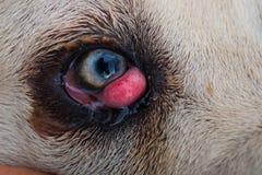 Φυλή σκυλιών corso καλάμων με το μάτι κερασιών στοκ φωτογραφία