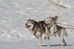 φυλή sleddog Στοκ φωτογραφία με δικαίωμα ελεύθερης χρήσης