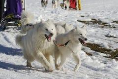 φυλή sleddog Στοκ Φωτογραφία