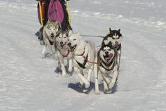 φυλή sleddog Στοκ εικόνα με δικαίωμα ελεύθερης χρήσης