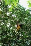 φυλετικό μέλος που συλλέγει pomelos από το δέντρο στοκ εικόνες