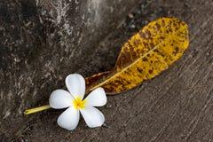 Φυλλώδεις άσπρες πτώσεις plumeria ανθών στο έδαφος με τα ξηρά φύλλα Στοκ φωτογραφία με δικαίωμα ελεύθερης χρήσης
