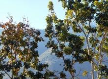 Φυλλώδες δέντρο με τα φρούτα Στοκ Εικόνες