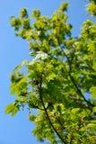 φυλλώδες δέντρο σφενδάμν& Στοκ Εικόνες
