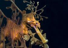 φυλλώδες seadragon Στοκ φωτογραφίες με δικαίωμα ελεύθερης χρήσης