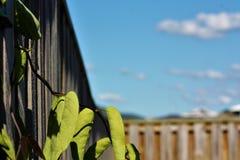 Φυλλώδης άμπελος που σπρώχνει μέσω του ξύλινου φράκτη στοκ εικόνα