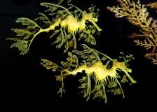 φυλλώδης θάλασσα δράκων Στοκ εικόνες με δικαίωμα ελεύθερης χρήσης