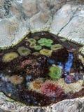 Φυσαλίδα-άκρη Anemone, μερικές ζωηρόχρωμες υδρόβιες φυτικές εγκαταστάσεις Στοκ Φωτογραφία