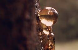 Φυσαλίδα σφρίγους στον αυστραλιανό θάμνο Στοκ Εικόνες