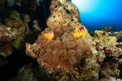 φυσαλίδα anemone Στοκ Φωτογραφίες