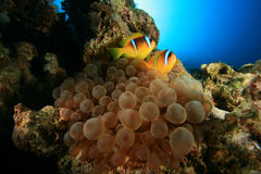 φυσαλίδα anemone Στοκ φωτογραφίες με δικαίωμα ελεύθερης χρήσης