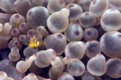 φυσαλίδα anemone anemonefish Στοκ φωτογραφίες με δικαίωμα ελεύθερης χρήσης