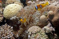 φυσαλίδα anemone anemonefish Στοκ φωτογραφία με δικαίωμα ελεύθερης χρήσης