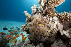 φυσαλίδα anemone anemonefish Στοκ εικόνες με δικαίωμα ελεύθερης χρήσης