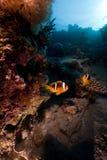 φυσαλίδα anemone anemonefish Στοκ Φωτογραφία