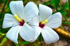 Φυσικά άσπρα λουλούδια χρώματος με τα πράσινα φύλλα χρώματος Στοκ φωτογραφία με δικαίωμα ελεύθερης χρήσης