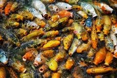 Φυσικά αυξημένος χρυσός παροξυσμός εκτροφής ψαρηών σε μια μικρή τεχνητή λίμνη στοκ φωτογραφία