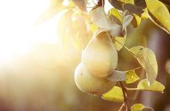 Φυσικά αχλάδια στον ηλιόλουστο κήπο φθινοπώρου Στοκ Φωτογραφίες